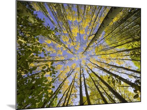 Golden Aspen Trees Seen From Below-John Eastcott & Yva Momatiuk-Mounted Photographic Print
