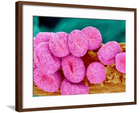 Geranium pollen at a magnification of x400-Micro Discovery-Framed Art Print