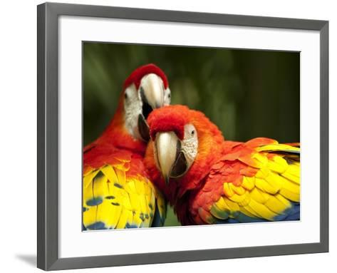 Scarlet Macaws at Zoo Ave Park, Outside San Jose-Paul Souders-Framed Art Print
