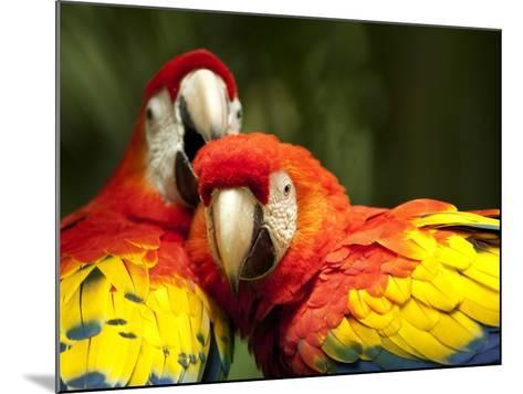 Scarlet Macaws at Zoo Ave Park, Outside San Jose-Paul Souders-Mounted Photographic Print