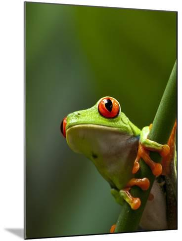 Red-eyed tree frog on stem-Paul Souders-Mounted Photographic Print