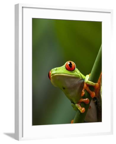 Red-eyed tree frog on stem-Paul Souders-Framed Art Print