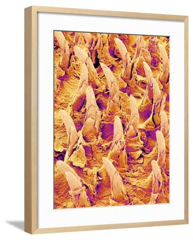 Tongue filiform papillae of a rabbit magnified x300-Micro Discovery-Framed Art Print