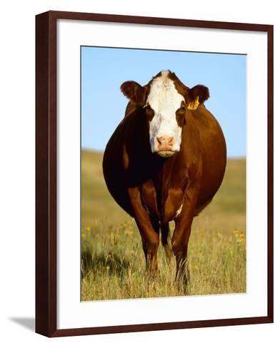 Crossbred Cow in Summer Pasture-Sam Wirzba-Framed Art Print