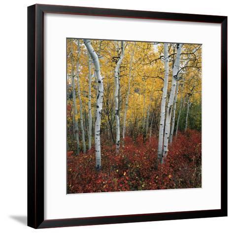 Aspen in autumn at Uinta National Forest-Micha Pawlitzki-Framed Art Print