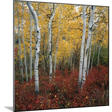 Aspen in autumn at Uinta National Forest-Micha Pawlitzki-Mounted Photographic Print