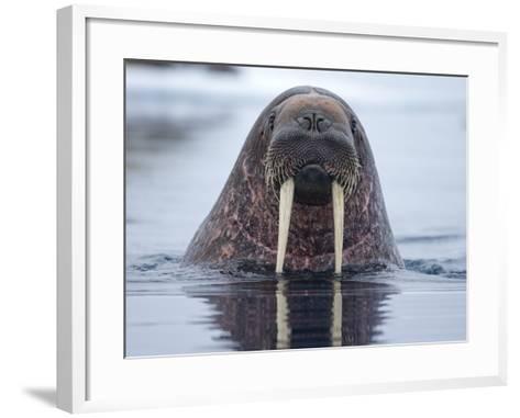Walrus swimming-Paul Souders-Framed Art Print