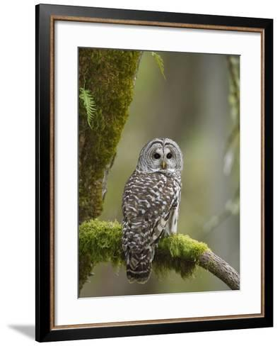 Barred Owl Perched on Mossy Branch, Victoria, Vancouver Island, British Columbia, Canada.-Jared Hobbs-Framed Art Print