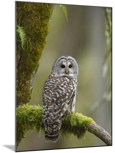 Barred Owl Perched on Mossy Branch, Victoria, Vancouver Island, British Columbia, Canada.-Jared Hobbs-Mounted Photographic Print