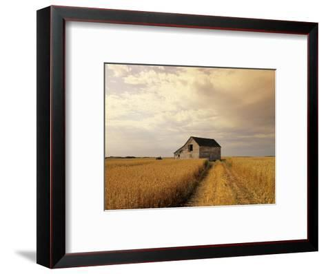Old Barn in Maturing Spring Wheat Field, Tiger Hills, Manitoba, Canada.-Dave Reede-Framed Art Print