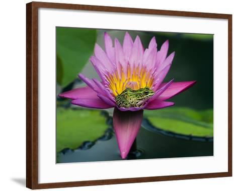 Frog on Waterlily in Urban Pond; Leo Mol Garden; Assiniboine Park, Winnipeg, Manitoba, Canada.-Mike Grandmaison-Framed Art Print