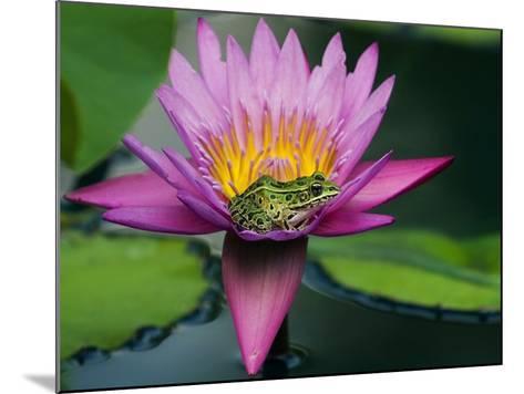Frog on Waterlily in Urban Pond; Leo Mol Garden; Assiniboine Park, Winnipeg, Manitoba, Canada.-Mike Grandmaison-Mounted Photographic Print