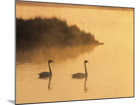 Two Adult Trumpeter Swans (cvanus Buccinator) in Morning Light at the Mouth of Junction Creek, Wald-Don Johnston-Mounted Photographic Print