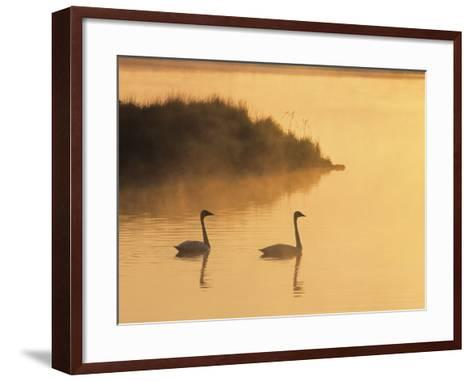 Two Adult Trumpeter Swans (cvanus Buccinator) in Morning Light at the Mouth of Junction Creek, Wald-Don Johnston-Framed Art Print