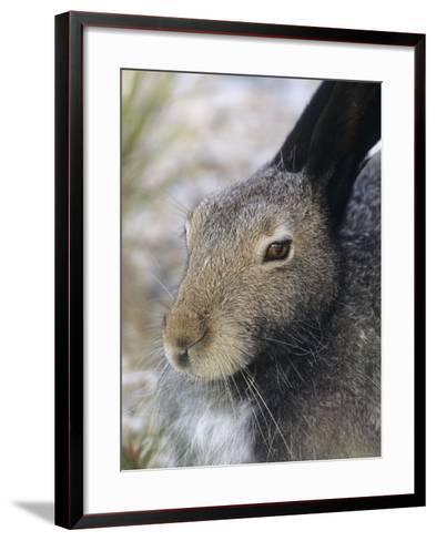 Artic Hare (lepus Articus) in Summer, Churchill Manitoba, Canada-Don Johnston-Framed Art Print