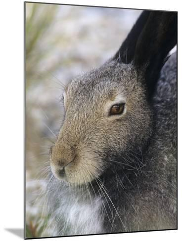 Artic Hare (lepus Articus) in Summer, Churchill Manitoba, Canada-Don Johnston-Mounted Photographic Print