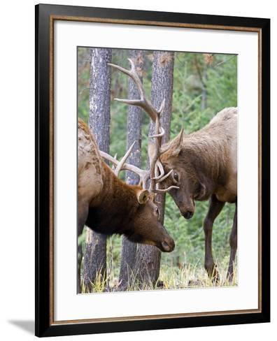 Two Male Elk (Cervus Canadensis) Clash Antlers in a Fight for Dominance and the Right to Mate Durin-kelly funk-Framed Art Print