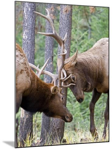 Two Male Elk (Cervus Canadensis) Clash Antlers in a Fight for Dominance and the Right to Mate Durin-kelly funk-Mounted Photographic Print