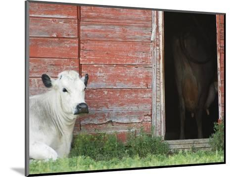 Cows and Red Barn, Southern Saskatchewan, Canada-Sam Chrysanthou-Mounted Photographic Print