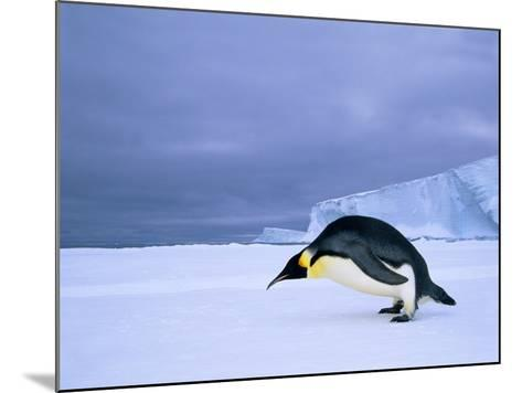 Emperor Penguin (Aptenodytes Forsteri) at the Edge of the Shorefast Ice, Drescher Inlet, 72 Degrees-Wayne Lynch-Mounted Photographic Print