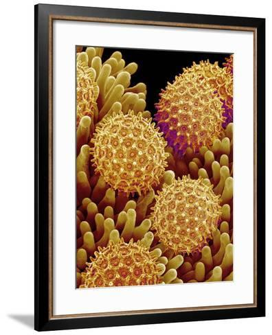 Pollen on pistel of Morning glory-Micro Discovery-Framed Art Print