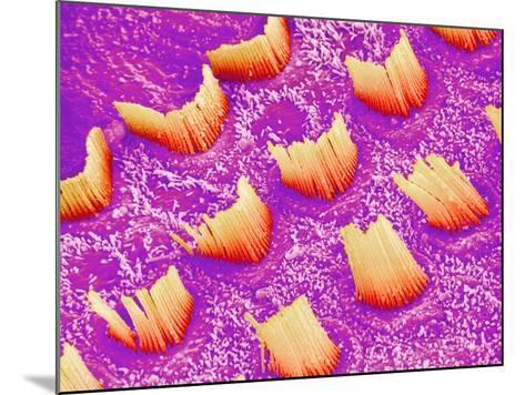 Sensory hair of inner ear (rat)-Micro Discovery-Mounted Photographic Print