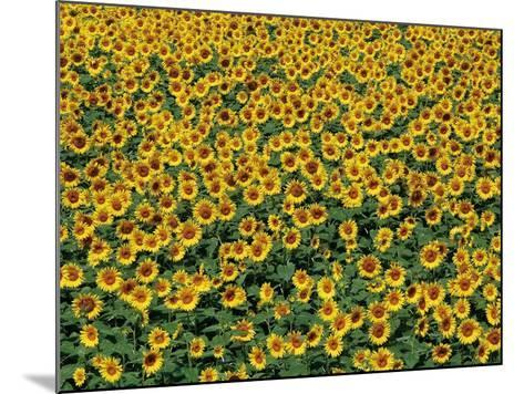 Sunflower field in Hokuto, Yamanashi Prefecture, Japan--Mounted Photographic Print
