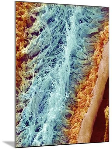Sperm in rat testes-Micro Discovery-Mounted Photographic Print