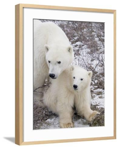 Polar Bear, Ursus Maritimus, Sow and Cub in the Churchill Wildlife Management Area, Hudson Bay, Chu-Rolf Hicker-Framed Art Print