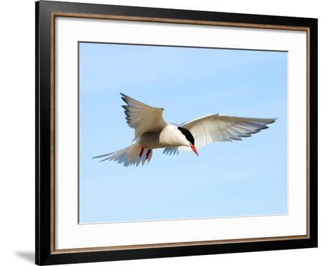 Adult Arctic Tern (Sterna Paradisea) Hovering Before a Dive, Victoria Island, Nunavut, Arctic Canad-Wayne Lynch-Framed Art Print