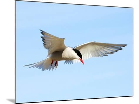 Adult Arctic Tern (Sterna Paradisea) Hovering Before a Dive, Victoria Island, Nunavut, Arctic Canad-Wayne Lynch-Mounted Photographic Print