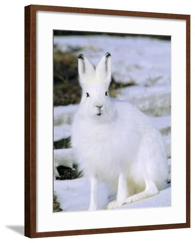 Adult Arctic Hare (Lepus Arcticus), Banks Island, Northwest Territories, Arctic Canada-Wayne Lynch-Framed Art Print