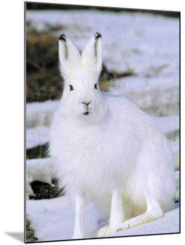 Adult Arctic Hare (Lepus Arcticus), Banks Island, Northwest Territories, Arctic Canada-Wayne Lynch-Mounted Photographic Print