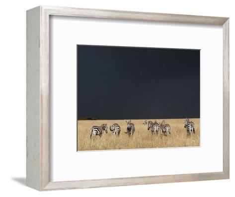 Burchell's Zebras on Savanna Below Stormy Sky-Paul Souders-Framed Art Print