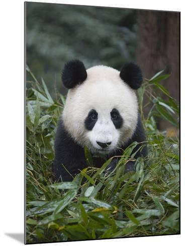 Giant panda cub in forest-Keren Su-Mounted Photographic Print