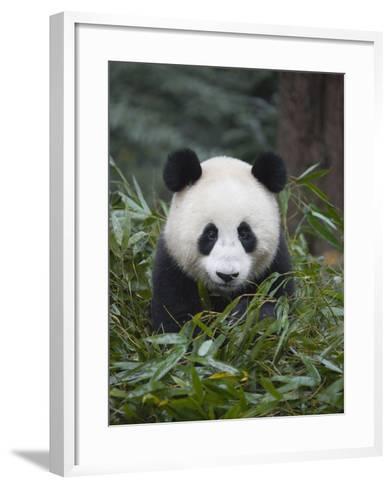 Giant panda cub in forest-Keren Su-Framed Art Print