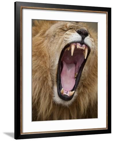 Male lion yawning in Masai Mara National Reserve-Paul Souders-Framed Art Print