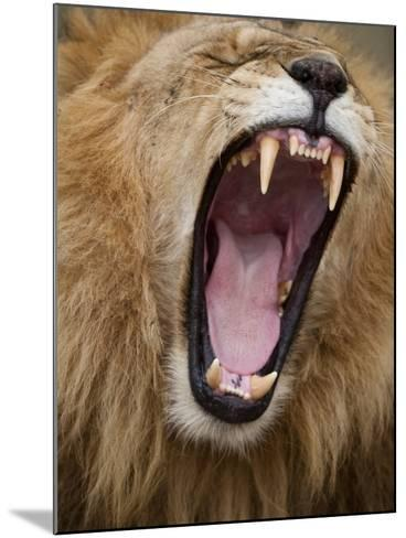 Male lion yawning in Masai Mara National Reserve-Paul Souders-Mounted Photographic Print