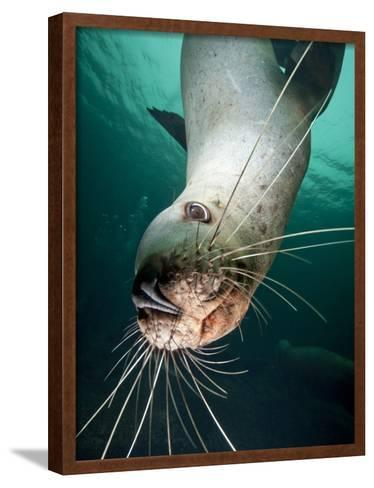 Curious Steller Sea Lion Swimming Underwater-Paul Souders-Framed Art Print