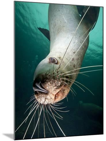 Curious Steller Sea Lion Swimming Underwater-Paul Souders-Mounted Photographic Print