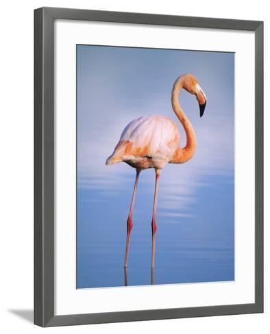Greater Flamingo (Phoenicopterus Ruber), Isabela Island, Galapagos Archipelago, Ecuador-Wayne Lynch-Framed Art Print