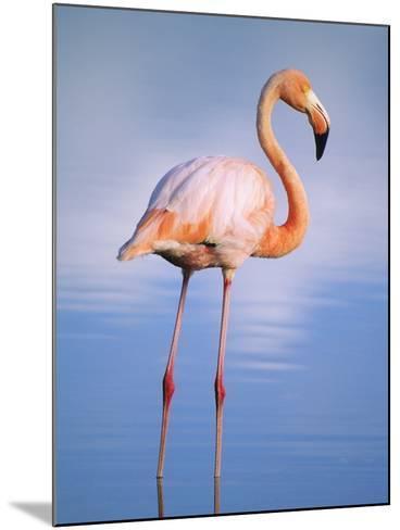 Greater Flamingo (Phoenicopterus Ruber), Isabela Island, Galapagos Archipelago, Ecuador-Wayne Lynch-Mounted Photographic Print