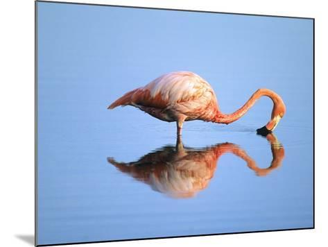 Adult Greater Flamingo (Phoenicopterus Ruber), Feeding. Isaabela Island, Galapagos Islands, Ecuador-Wayne Lynch-Mounted Photographic Print