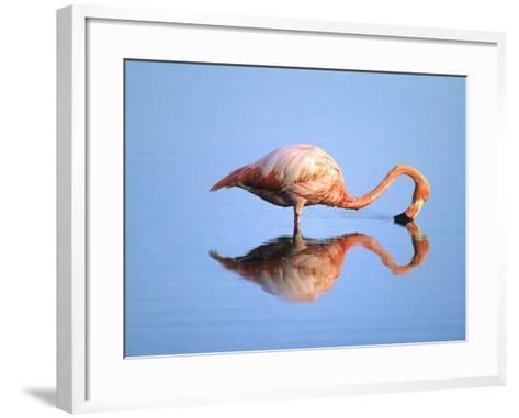 Adult Greater Flamingo (Phoenicopterus Ruber), Feeding. Isaabela Island, Galapagos Islands, Ecuador-Wayne Lynch-Framed Art Print