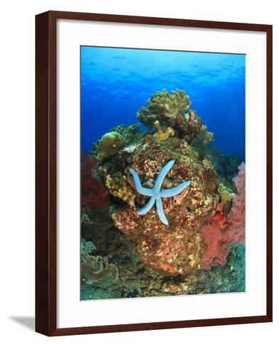 Blue Sea Star and brilliant red sea fans near Komba Island in the Flores Sea, Indonesia-Stuart Westmorland-Framed Art Print