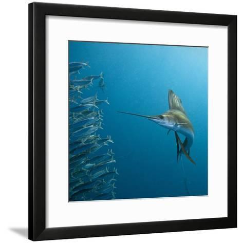 Sailfish feeding on Brazilian sardines-Stuart Westmorland-Framed Art Print