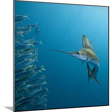 Sailfish feeding on Brazilian sardines-Stuart Westmorland-Mounted Photographic Print