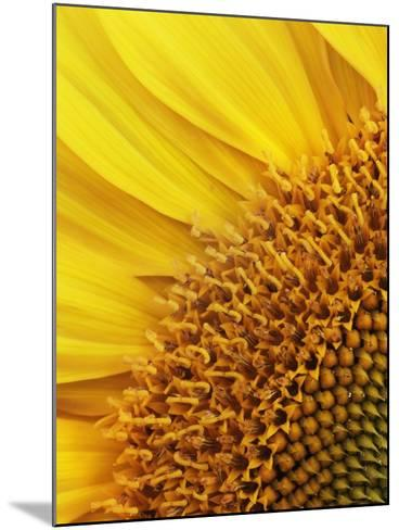 Sunflower-Frank Krahmer-Mounted Photographic Print