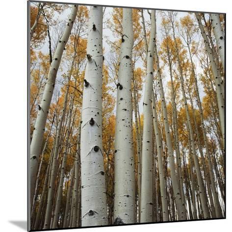 Grove of Coloful Aspens in Fall-Micha Pawlitzki-Mounted Photographic Print