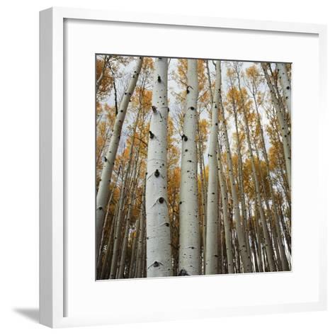 Grove of Coloful Aspens in Fall-Micha Pawlitzki-Framed Art Print